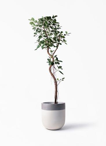 観葉植物 フィカス ジャンボリーフ 10号 バルゴ ツートーン  サンディホワイト 付き