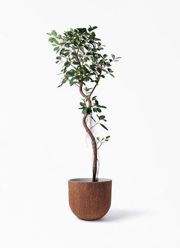 観葉植物 フィカス ジャンボリーフ 10号 バル ユーポット ラスティ  付き