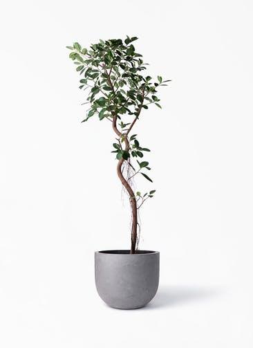 観葉植物 フィカス ジャンボリーフ 10号 コンカー ラウンド 付き