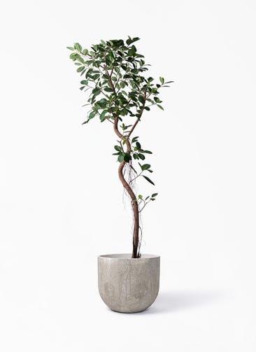 観葉植物 フィカス ジャンボリーフ 10号 バル ユーポット アンティークセメント 付き