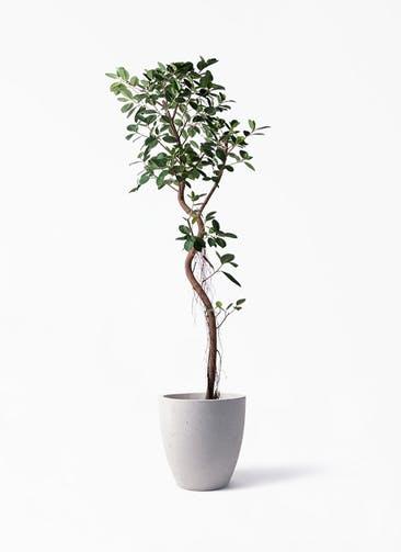 観葉植物 フィカス ジャンボリーフ 10号 コーテス ラウンド ベージュ 付き