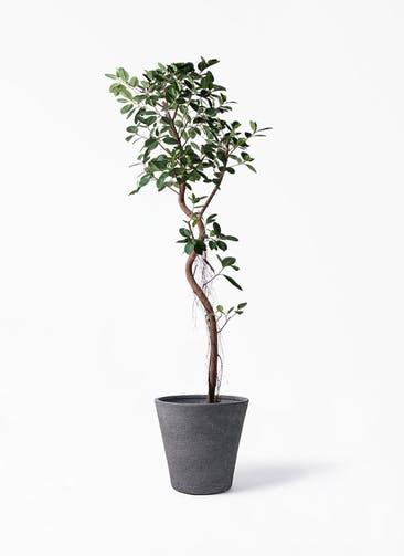 観葉植物 フィカス ジャンボリーフ 10号 ビアスソリッド ブラック 付き
