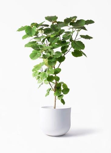 観葉植物 フィカス ウンベラータ 10号 ノーマル アユラニ ライレイ 付き