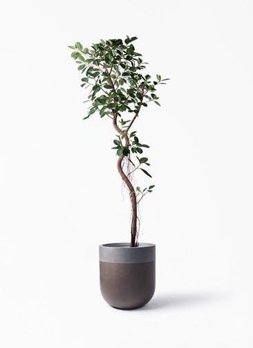 観葉植物 フィカス ジャンボリーフ 10号 バルゴ ツートーン マットブラウン 付き