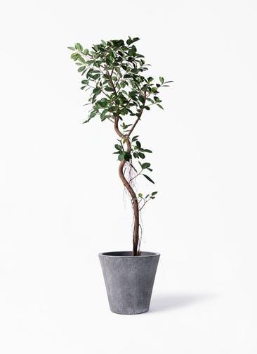 観葉植物 フィカス ジャンボリーフ 10号 フォリオソリッド ブラックウォッシュ 付き