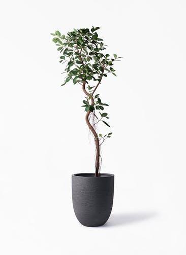 観葉植物 フィカス ジャンボリーフ 10号 ビアスアルトエッグ ブラック 付き