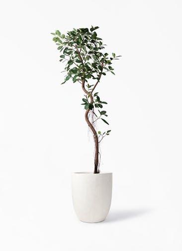 観葉植物 フィカス ジャンボリーフ 10号 フォリオアルトエッグ クリーム 付き