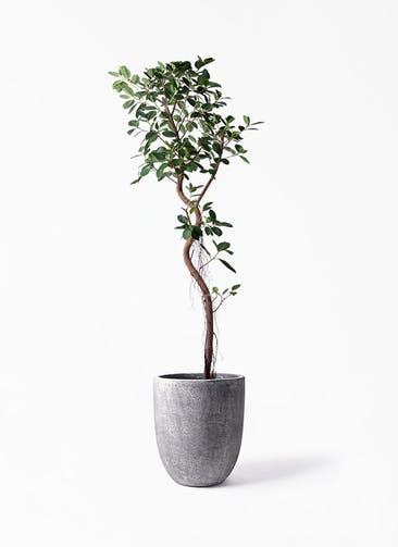 観葉植物 フィカス ジャンボリーフ 10号 フォリオアルトエッグ ブラックウォッシュ 付き