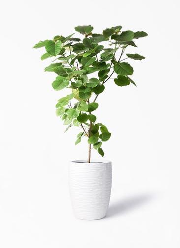 観葉植物 フィカス ウンベラータ 10号 ノーマル サン ミドル リッジ 白 付き