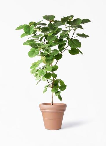 観葉植物 フィカス ウンベラータ 10号 ノーマル トスカーナ リムポット 付き