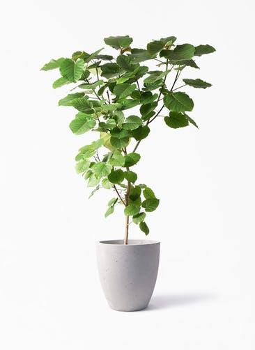 観葉植物 フィカス ウンベラータ 10号 ノーマル コーテス ラウンド ベージュ 付き