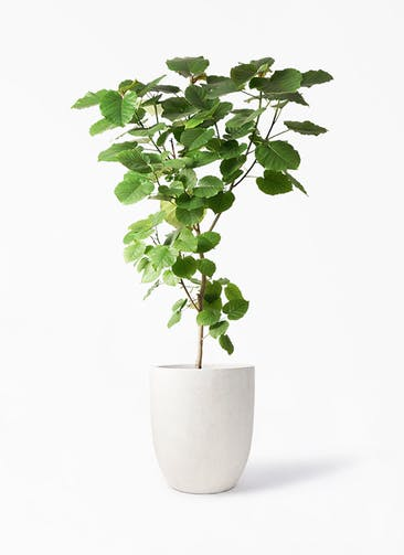 観葉植物 フィカス ウンベラータ 10号 ノーマル フォリオアルトエッグ クリーム 付き