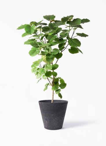 観葉植物 フィカス ウンベラータ 10号 ノーマル アートストーン ラウンド ブラック 付き