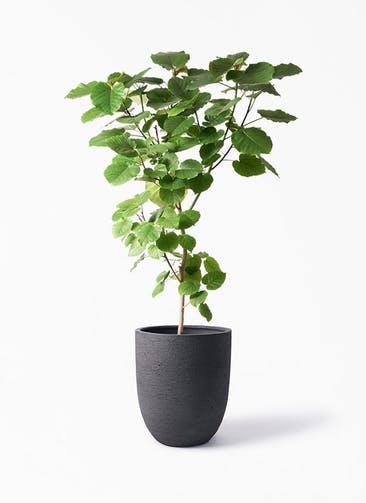 観葉植物 フィカス ウンベラータ 10号 ノーマル ビアスアルトエッグ ブラック 付き