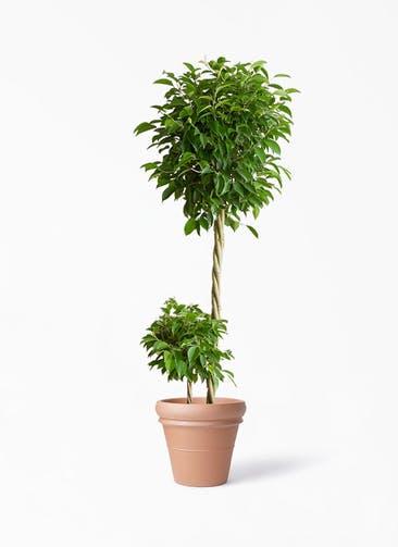 観葉植物 フィカス ベンジャミン 10号 玉造り トスカーナ リムポット 付き