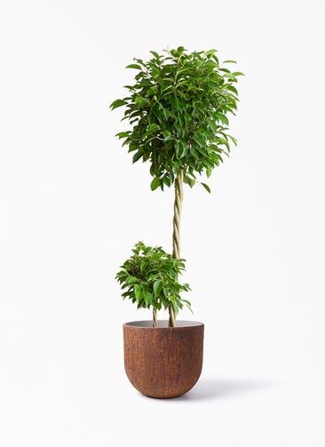 観葉植物 フィカス ベンジャミン 10号 玉造り バル ユーポット ラスティ  付き