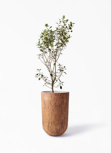 観葉植物 フランスゴムの木 10号 ノーマル バル トール ラスティ 付き