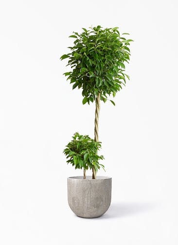 観葉植物 フィカス ベンジャミン 10号 玉造り バル ユーポット アンティークセメント 付き