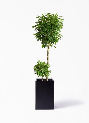 観葉植物 フィカス ベンジャミン 10号 玉造り セドナロング  墨 付き