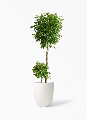 観葉植物 フィカス ベンジャミン 10号 玉造り フォリオアルトエッグ クリーム 付き