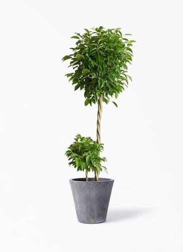 観葉植物 フィカス ベンジャミン 10号 玉造り フォリオソリッド ブラックウォッシュ 付き