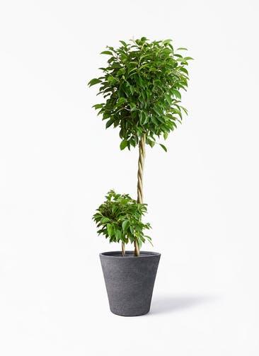 観葉植物 フィカス ベンジャミン 10号 玉造り ビアスソリッド ブラック 付き