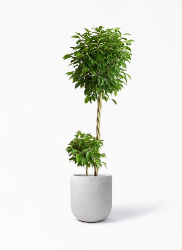 観葉植物 フィカス ベンジャミン 10号 玉造り バルゴ モノ ライトグレー 付き