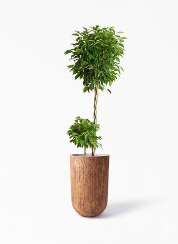 観葉植物 フィカス ベンジャミン 10号 玉造り バル トール ラスティ 付き