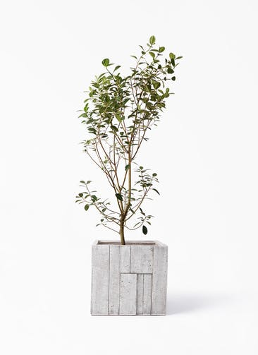 観葉植物 フランスゴムの木 10号 ノーマル パターン キューブ 付き