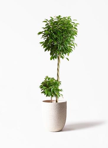 観葉植物 フィカス ベンジャミン 10号 玉造り ビアスアルトエッグ 白 付き