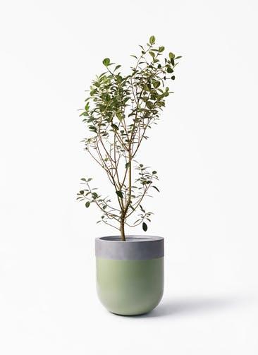 観葉植物 フランスゴムの木 10号 ノーマル バルゴ ツートーン 緑 付き