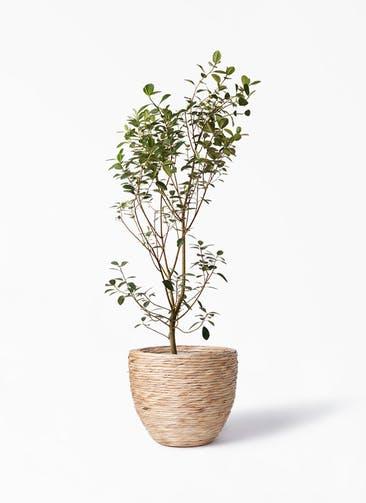 観葉植物 フランスゴムの木 10号 ノーマル マラッカ ウォーターヒヤシンス 付き