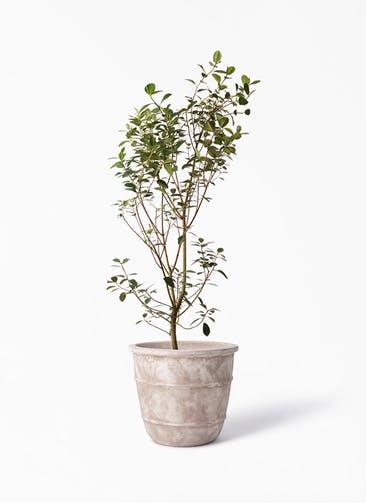 観葉植物 フランスゴムの木 10号 ノーマル テラアストラ シリウス 付き