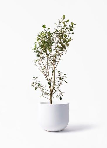 観葉植物 フランスゴムの木 10号 ノーマル アユラニ ライレイ 付き
