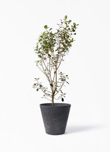 観葉植物 フランスゴムの木 10号 ノーマル アートストーン ラウンド ブラック 付き