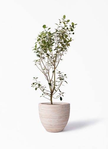 観葉植物 フランスゴムの木 10号 ノーマル マラッカ クリームウォッシュ 付き