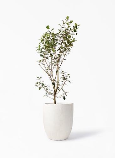 観葉植物 フランスゴムの木 10号 ノーマル フォリオアルトエッグ クリーム 付き