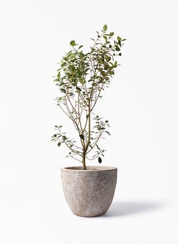 観葉植物 フランスゴムの木 10号 ノーマル アビスソニア ラウンド 付き