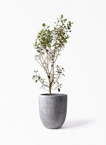 観葉植物 フランスゴムの木 10号 ノーマル フォリオアルトエッグ ブラックウォッシュ 付き