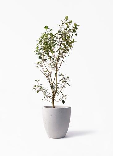 観葉植物 フランスゴムの木 10号 ノーマル コーテス ラウンド ベージュ 付き