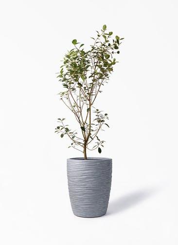 観葉植物 フランスゴムの木 10号 ノーマル サン ミドル リッジ 灰 付き