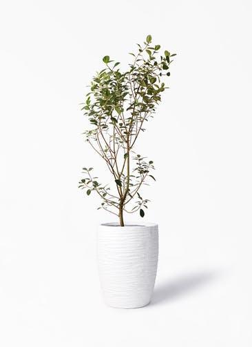 観葉植物 フランスゴムの木 10号 ノーマル サン ミドル リッジ 白 付き