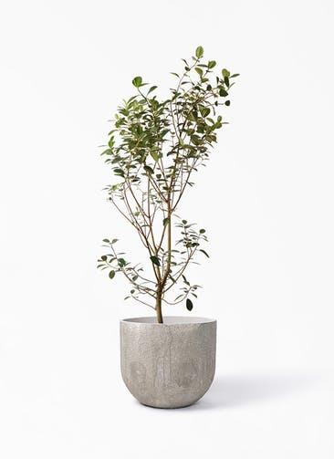 観葉植物 フランスゴムの木 10号 ノーマル バル ユーポット アンティークセメント 付き
