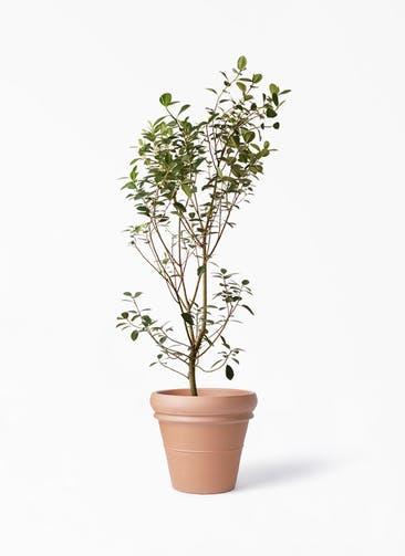 観葉植物 フランスゴムの木 10号 ノーマル トスカーナ リムポット 付き