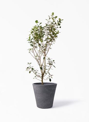 観葉植物 フランスゴムの木 10号 ノーマル ビアスソリッド ブラック 付き