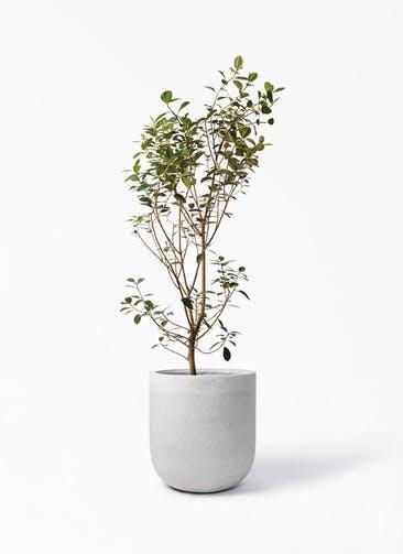 観葉植物 フランスゴムの木 10号 ノーマル バルゴ モノ ライトグレー 付き