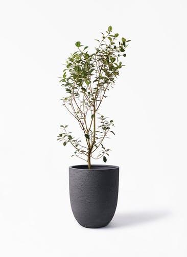 観葉植物 フランスゴムの木 10号 ノーマル ビアスアルトエッグ ブラック 付き
