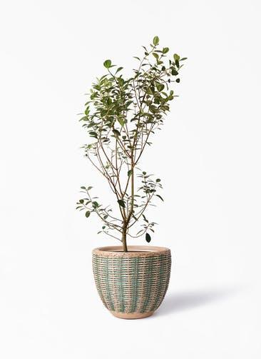 観葉植物 フランスゴムの木 10号 ノーマル マラッカ ダイドグリーン 付き