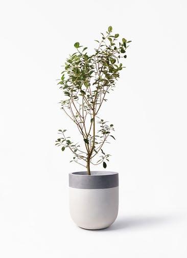 観葉植物 フランスゴムの木 10号 ノーマル バルゴ ツートーン  サンディホワイト 付き
