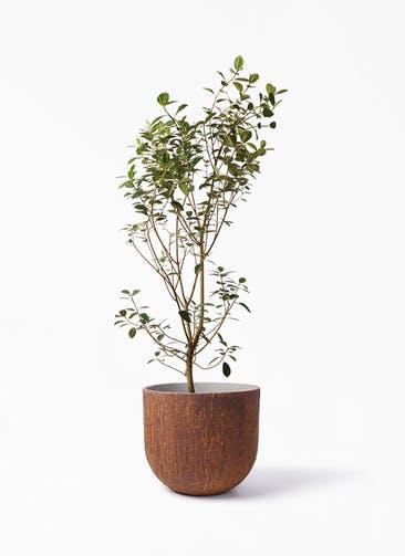 観葉植物 フランスゴムの木 10号 ノーマル バル ユーポット ラスティ  付き